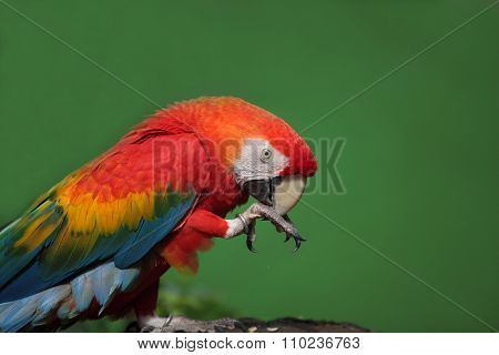 Closeup Of Colorful Macaw