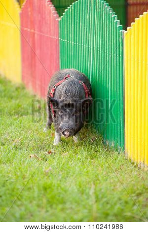 Wild Pig In A Park