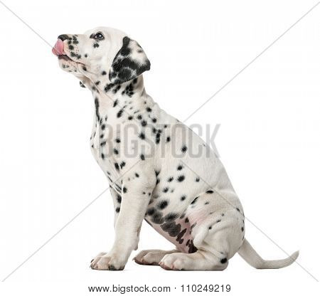 Dalmatian puppy sitting and licking in front of a white background