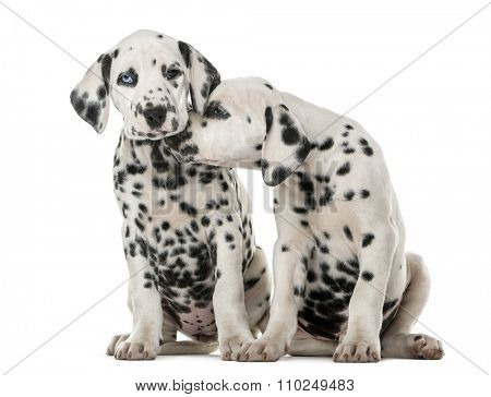 Two Dalmatian puppies cuddling in front of a white background