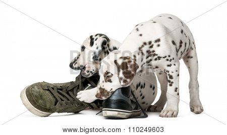 Two Dalmatian puppies chewing shoes in front of a white background
