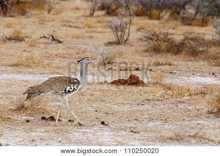 Kori Bustard In African Bush
