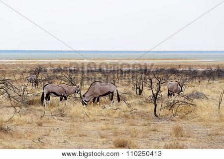 Oryx Gazella In Etosha