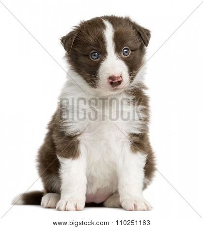 Border Collie puppy (6 weeks old) sitting in front of a white background