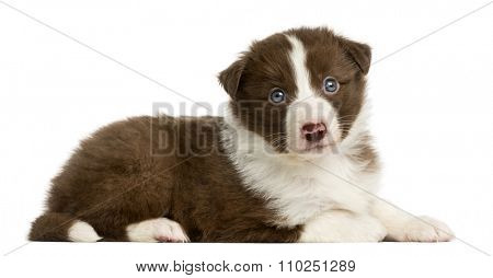 Border Collie puppy (6 weeks old) lying in front of a white background