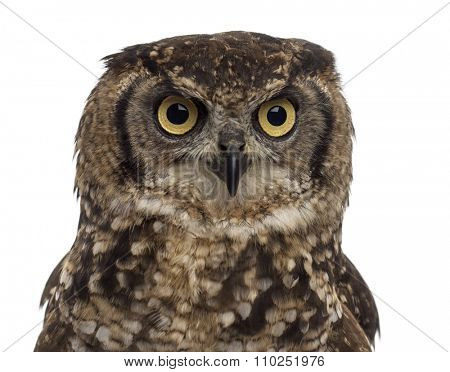Close-up of a Spotted eagle-owl - Bubo africanus (4 years old) in front of a white background