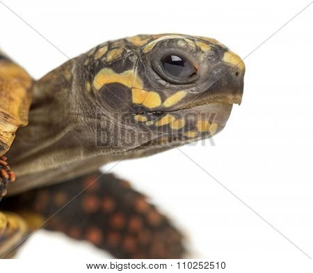 Close-up of a Red-footed tortoises (2 years old), Chelonoidis carbonaria, in front of a white background