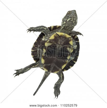 European pond turtle (1 year old), Emys orbicularis, swimming in front of a white background