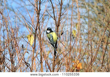 The great tit.Autumn scenery in the park. November.