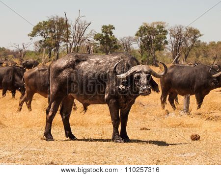 African buffalo front view