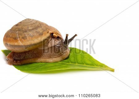 Brown Snail On A Green Leaf