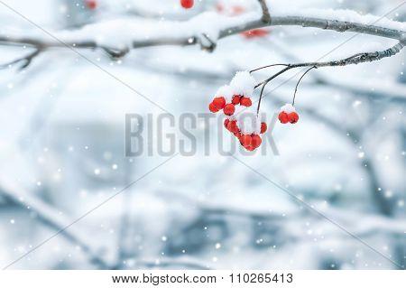 Rowan under snow