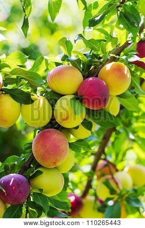 Plums On A Branch Of Plum Tree