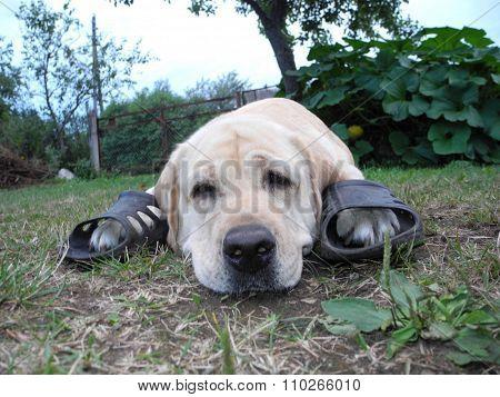 Dog longing