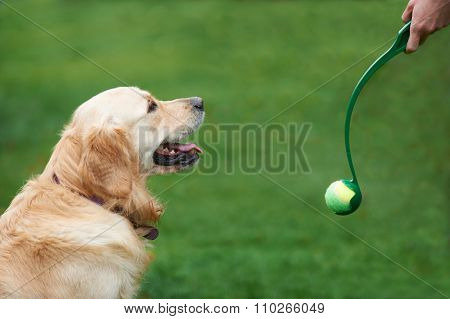 Owner Exercising Golden Retriever By Throwing Ball