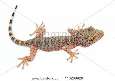 Closeup Gecko