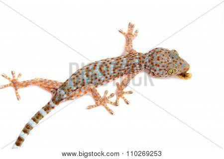 Gecko Eating Prey