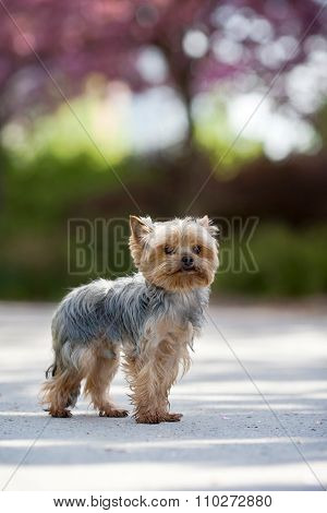 Yorkshire Terrier Sitting In The Park
