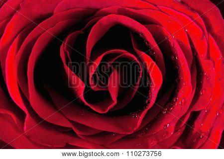 Closeup Of A Red Rose