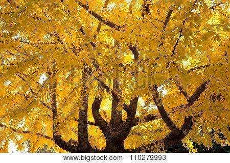 Ginkgo biloba tree, Fall