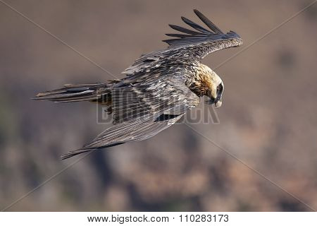 Bearded Vulture Flying In The Mountains