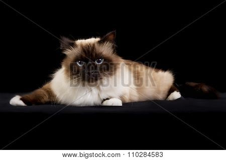 Purebred Birman Cat Isolated On Black Background