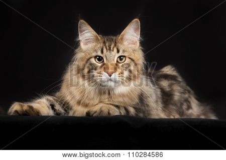 Purebred Maine Coon Cat Isolated On Black Background