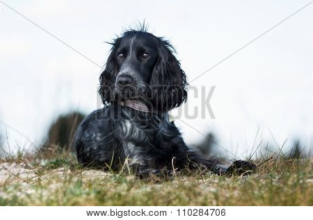 Cocker Spaniel Dog Outdoors In Nature