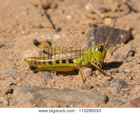 Marsh Meadow Grasshopper