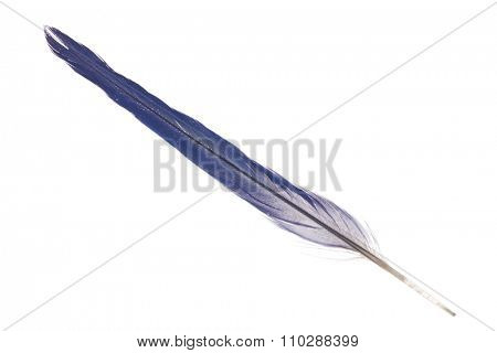 dark blue parrot feather isolated on white background