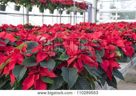 Red Poinsettias in Pots on Display