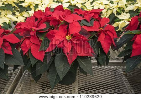 Red and Creamed Colored Potted Poinsettias