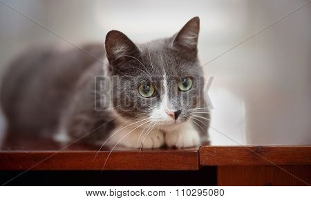 The Domestic Interested Cat Of A Smoky-white Color