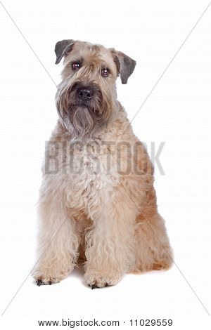Soft Coated Wheaten Terrier Dog