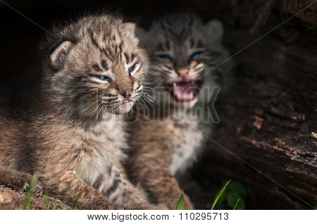 Bobcat Kitten (lynx Rufus) Tries To Ignore Crying Sibling