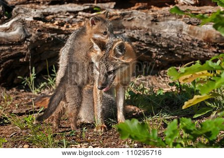 Kit Climbs On Grey Fox Vixen (urocyon Cinereoargenteus)