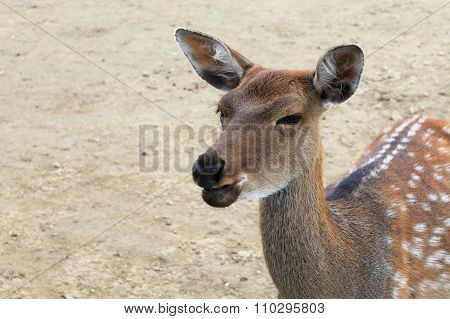 Deer close up squinting chewing food