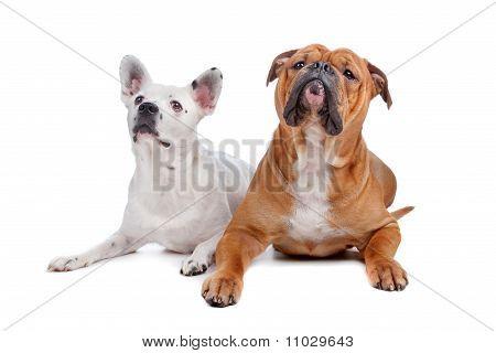 Old English Bulldog, Mix French Bulldog/cattle Dog