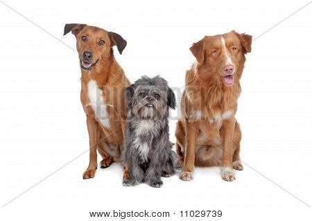 Two Mix Dogs And A Nova Scotia Duck Tolling Retriever