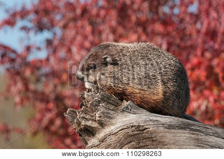 Woodchuck (marmota Monax) Sits Facing Left On Log