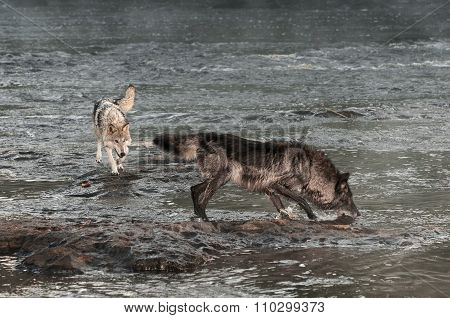 Grey Wolves (canis Lupus) In River