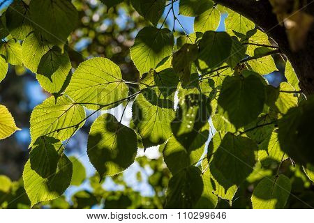 Sunny linden leaves.