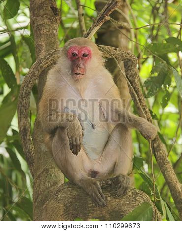 Macaque with red muzzle in a tree