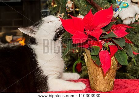 Cat Eating Poinsettia