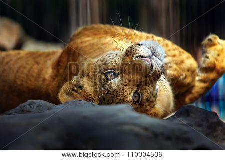 liger roll over her back. Novosibirs Zoo