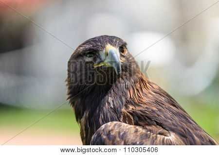 Golden Eagle Semi Profile View