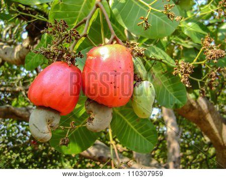 Cashew Apple On The Tree
