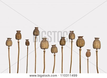 Dried Poppy  Isolated On White Background -