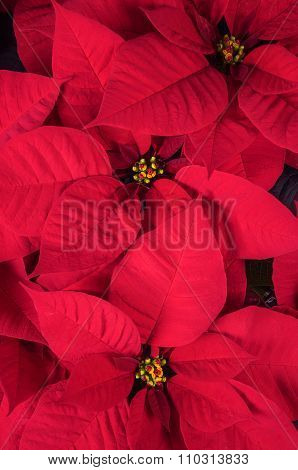 Bright Red Christmas Poinsettia