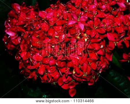 red Ixora in the garden on the night